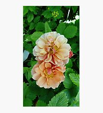 Peach Roses Photographic Print