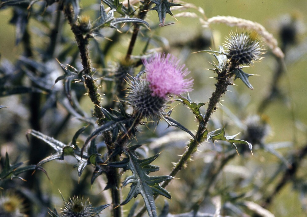 Thistle by MayWebb