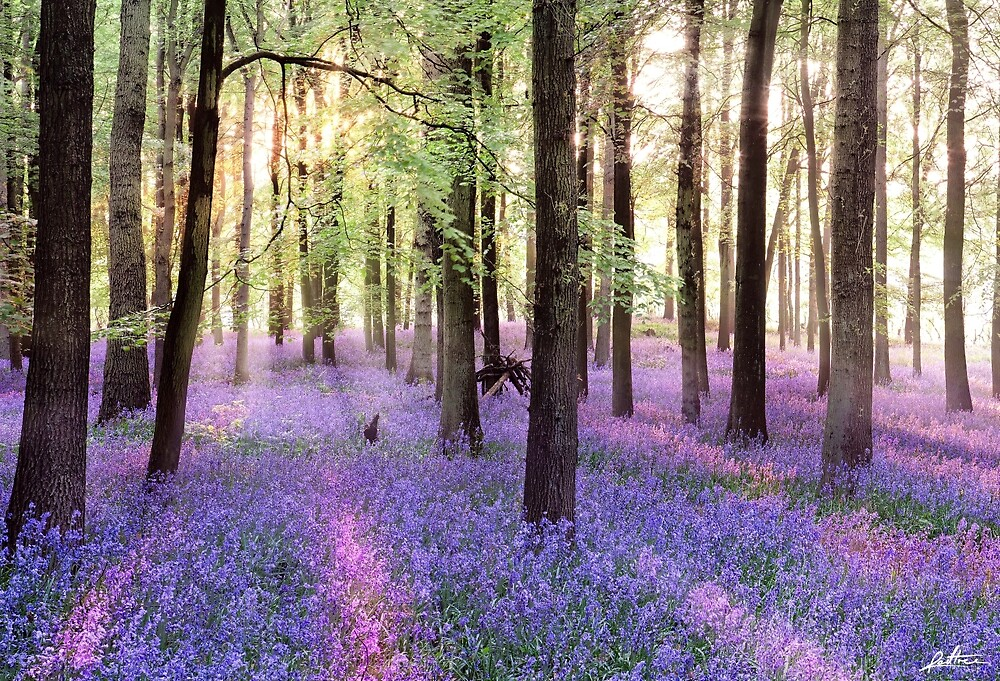Morning Bluebells by redtree