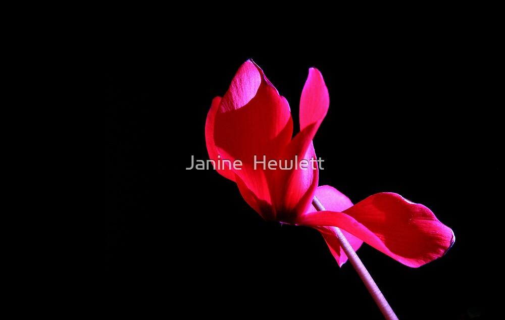 Cyclamen by Janine  Hewlett