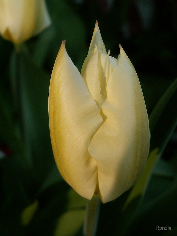 1st Tulip to Bloom! by Rpnzle