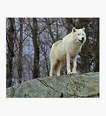 Arctic Wolf Watching Photographic Print