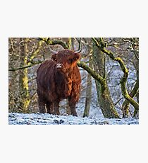 Scottish Highland Cow in the Snow Photographic Print