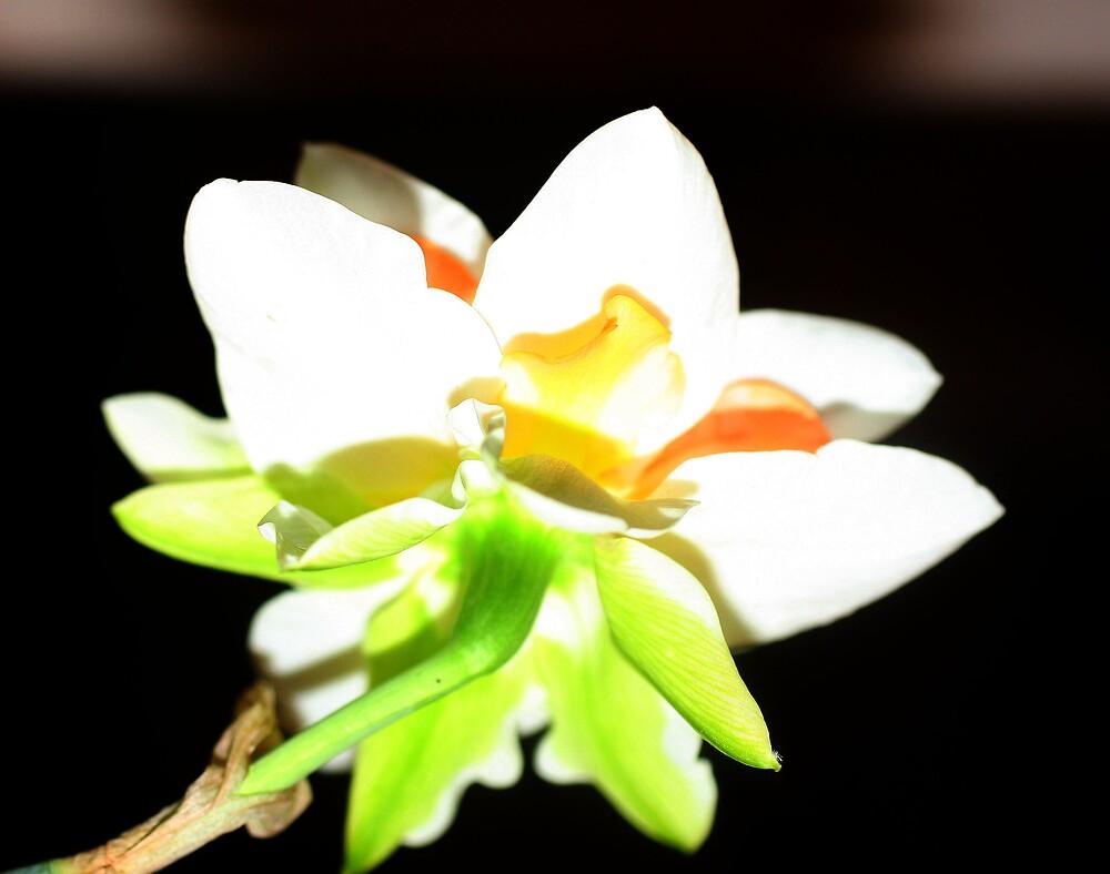 Double Daffodil by shadyuk