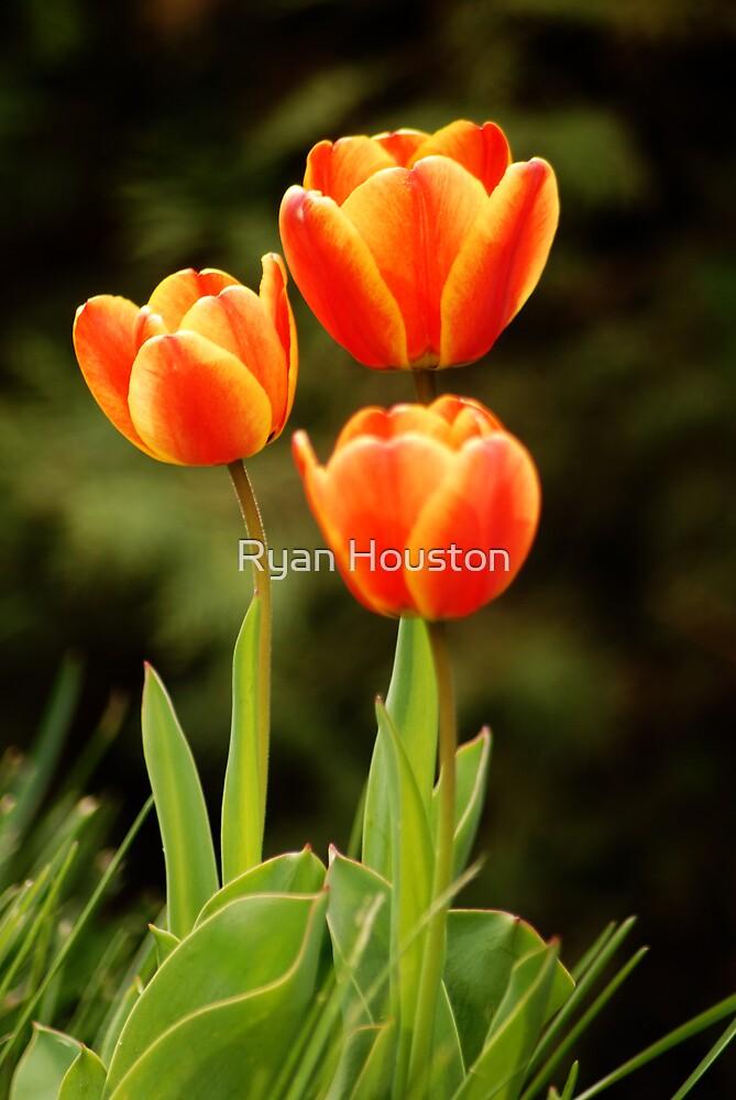 Tulip Trio by Ryan Houston