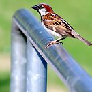 Male Chickadee by Sandra Moore