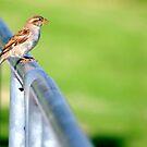 Female Chickadee by Sandra Moore