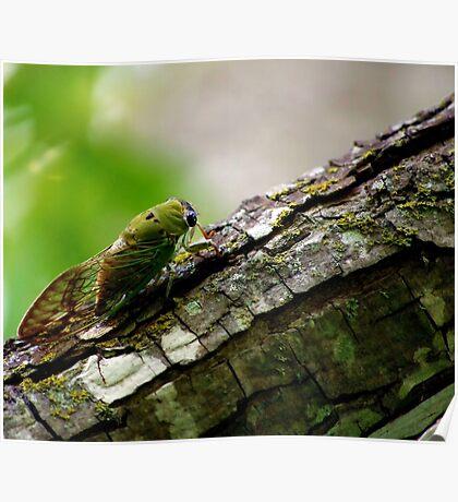 Central Texas Cicada Poster
