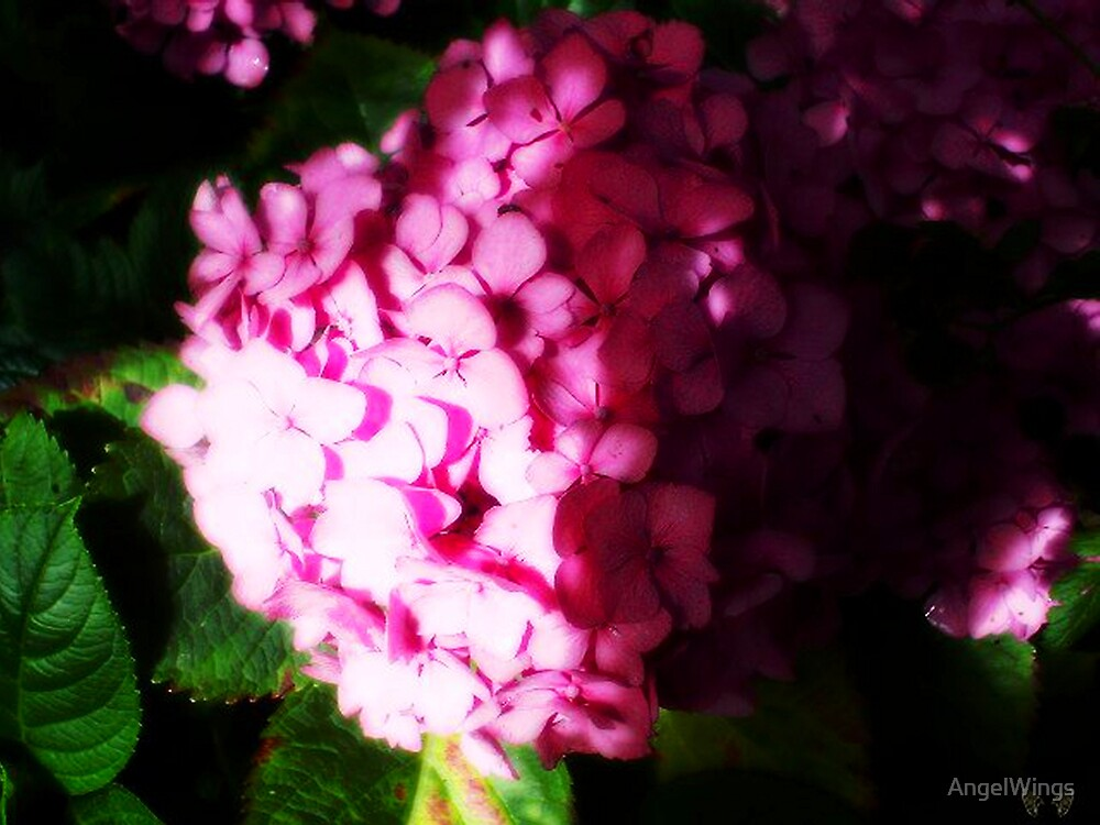 In Holland we call this an Hortensia by AngelWings