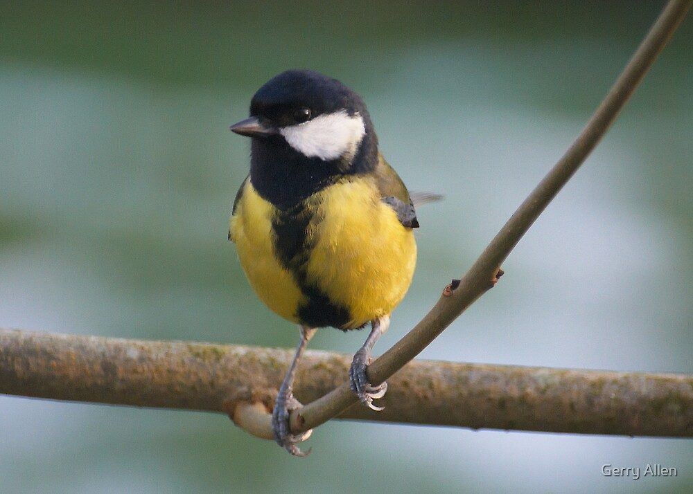 Great Tit by Gerry Allen