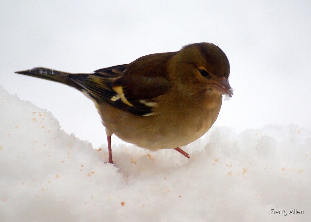 Looking for crumbs in the snow by Gerry Allen