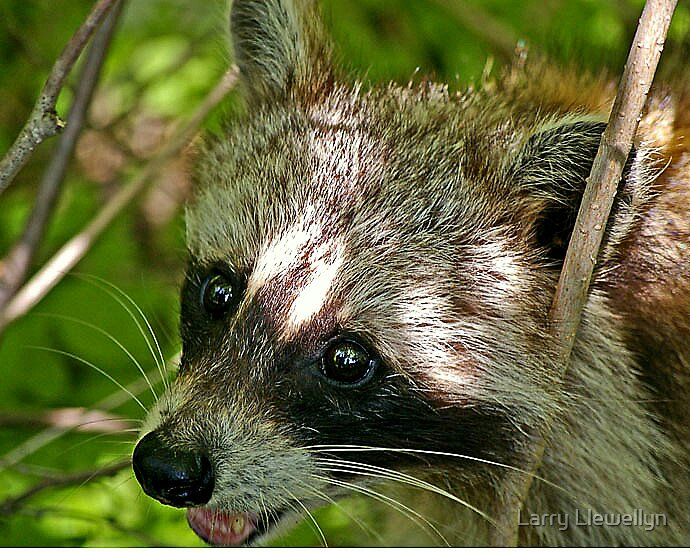 Natures True Bandit- The Racoon by Larry Llewellyn