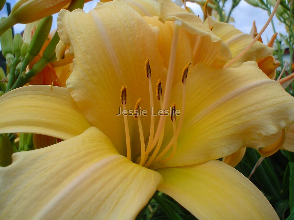 Day Lily by Jessie Leslie
