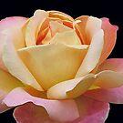 Gracious Rose von BlueMoonRose