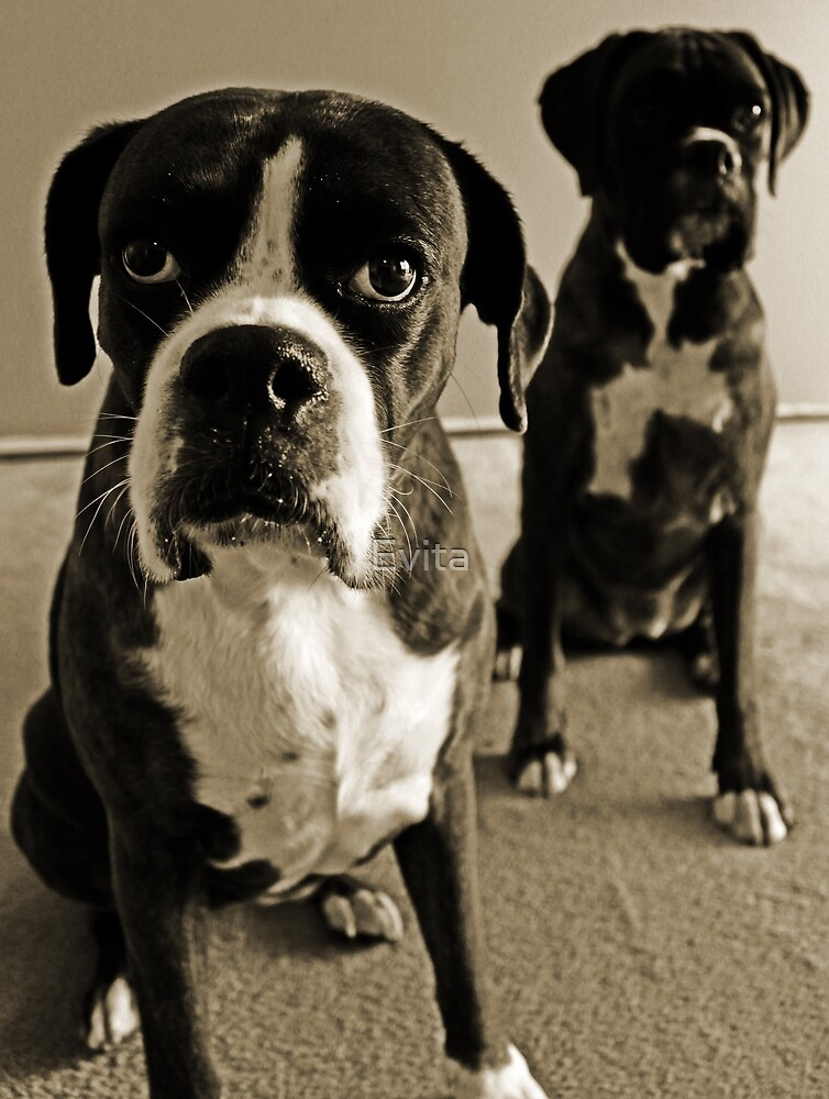 What do you mean she's right behind me .... -Boxer Dogs Series- by Evita