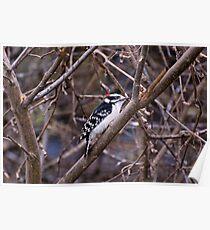 Downey woodpecker Poster
