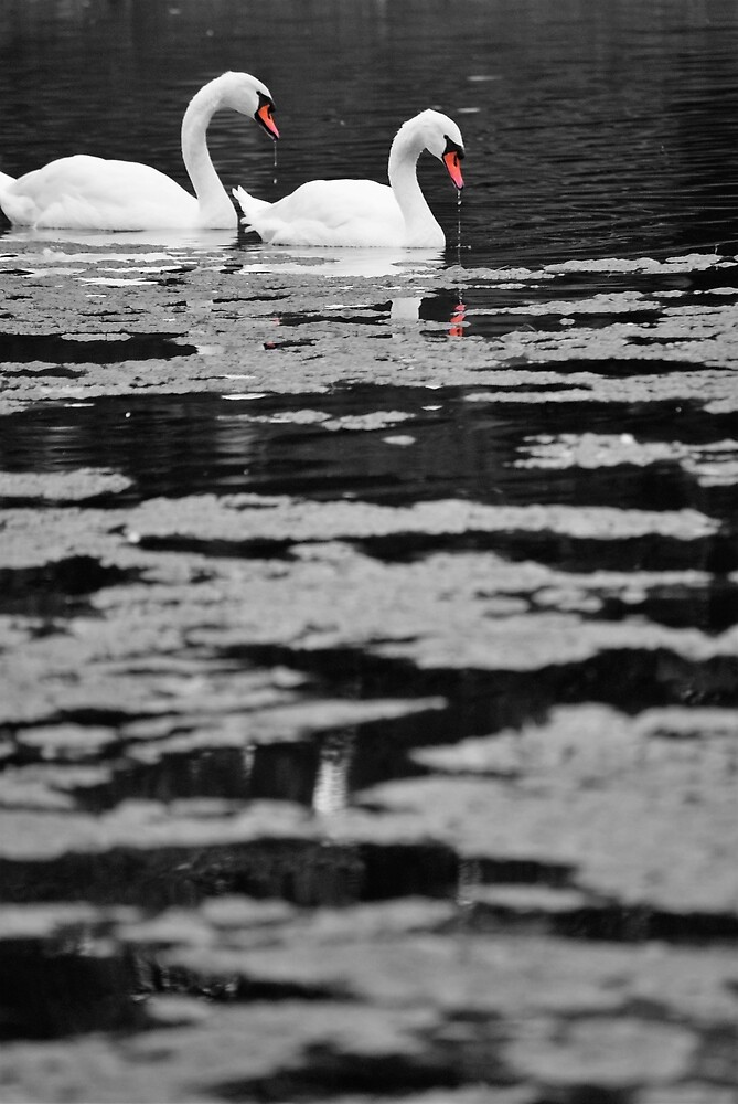 Swans by Taylor Kling