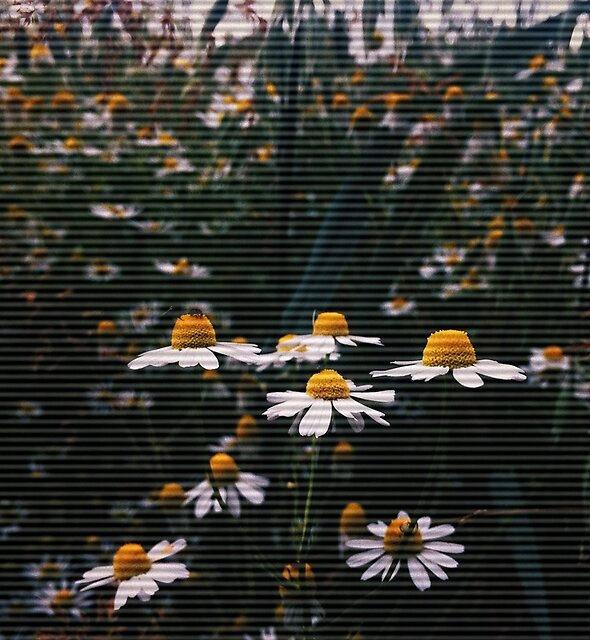 Daisy Dreams by oyinbello