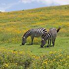 Grant's Zebras (Equus quagga boehmi) by Yair Karelic