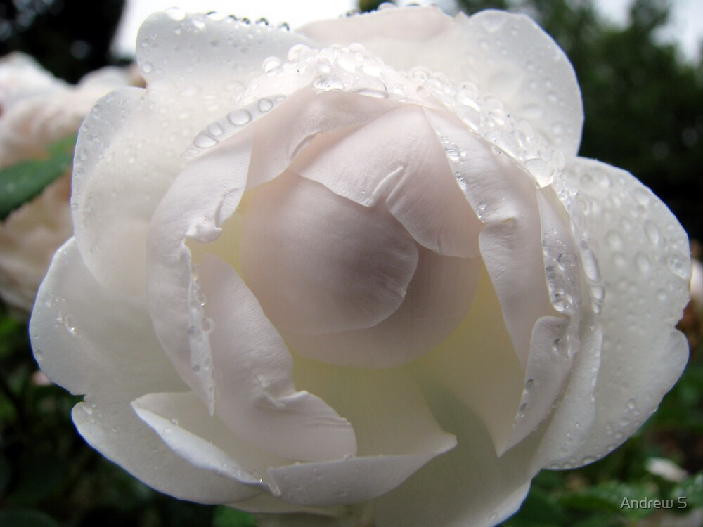 White Rose by Andrew S