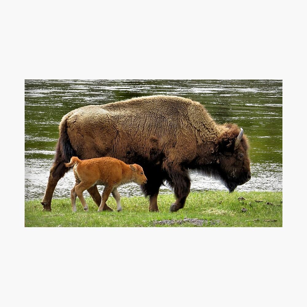 Bison with calf Lámina fotográfica