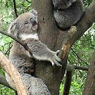 Australian Koala & Baby by Evelyn Hood