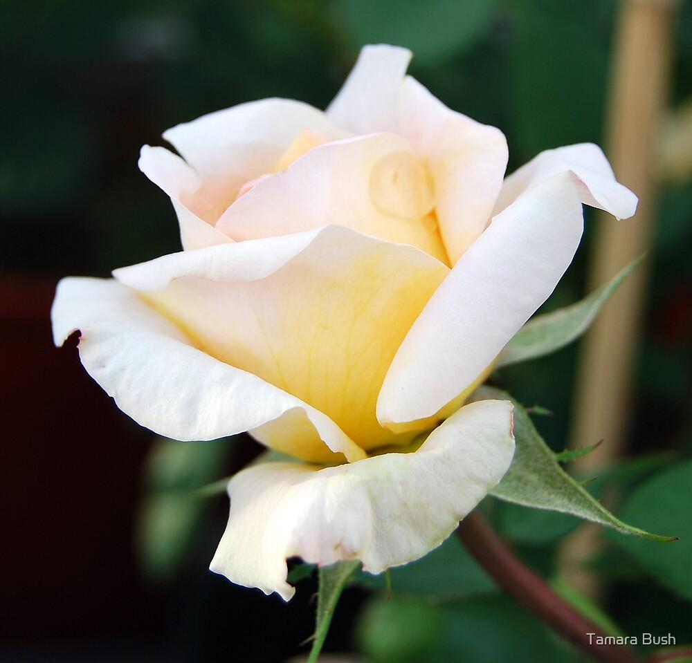 WHITE ROSE by Tamara Bush