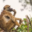 What To Do Baboon by Owed To Nature
