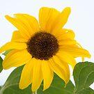 Sunflower by Kasia-D