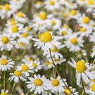 Wild Daisies by Dave Hare