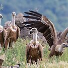 Griffon Vulture by Dominika Aniola