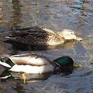 Mallard Ducks, New York Botanical Garden, Bronx, New York by lenspiro