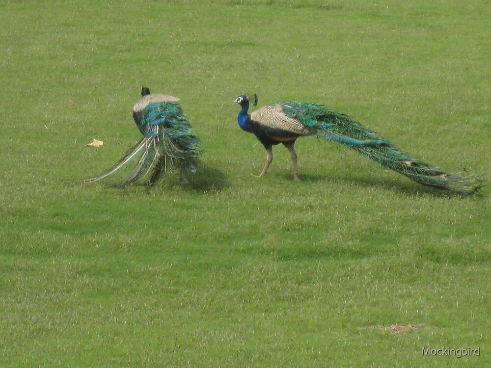 Peacocks by Mockingbird