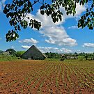 tobacco field- Vinales, Cuba by David Chesluk