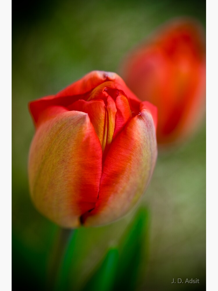 Tulips Opening Slowly by adsitprojectpro