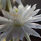 Cactus Showtime by Jill Doyle