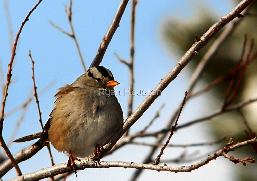 White-Crowned Sparrow - Blue Skies by Ryan Houston