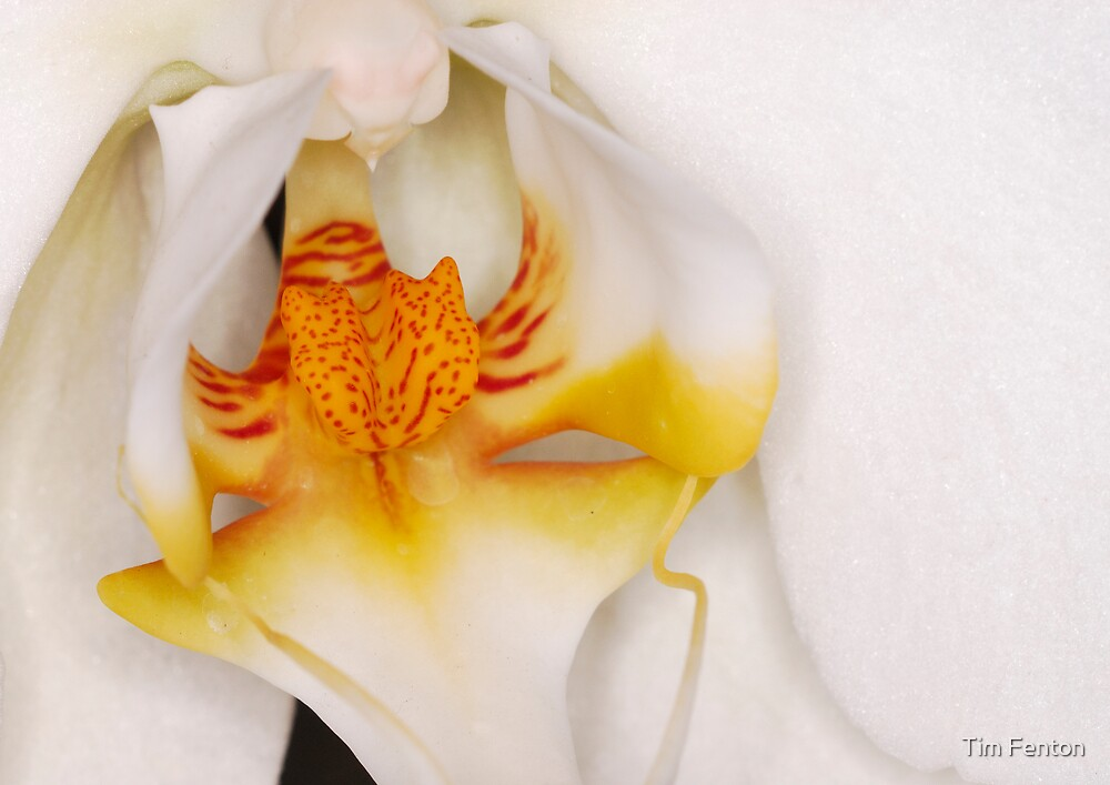 white orchid by Tim Fenton