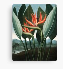 The Queen - The Temple of Flora Botanical Print Canvas Print