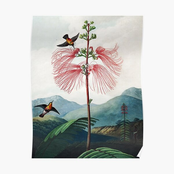 Large Flowering Sensitive Plant - The Temple of Flora Poster