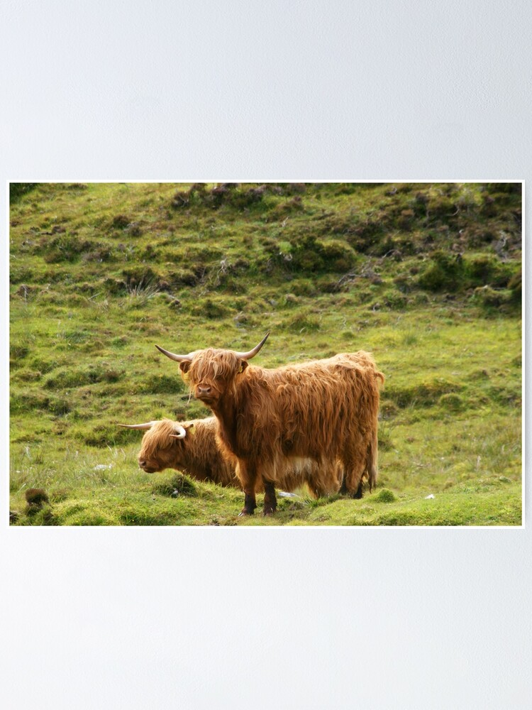 Alternate view of Scottish Highland Cows Poster