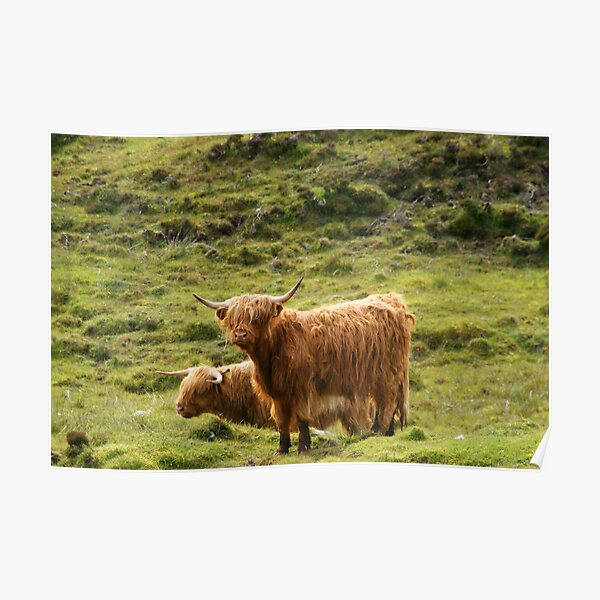 Scottish Highland Cows Poster