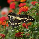 Giant Swallowtail Butterfly by DonnaMoore