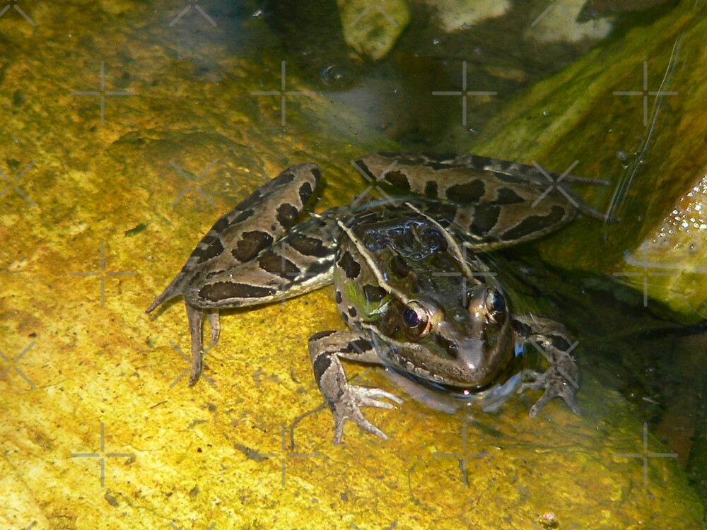 Leopard Frog 2 by kevint