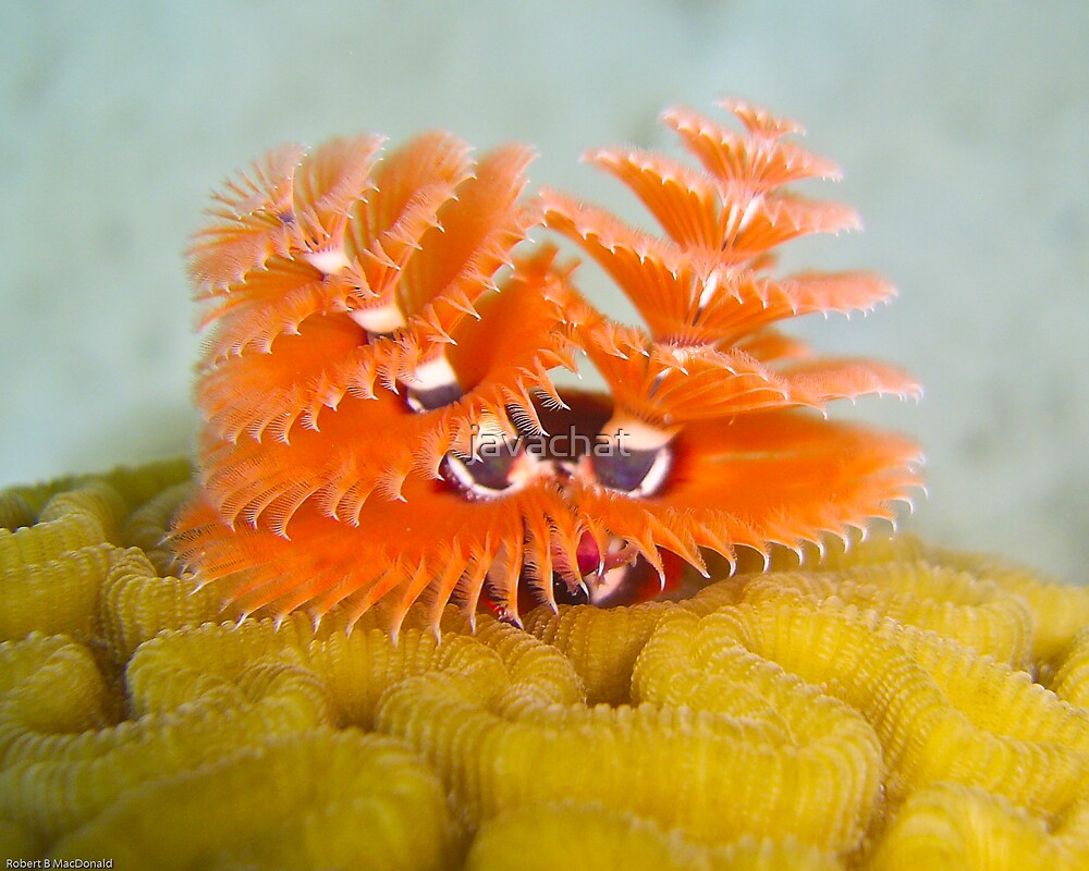 Christmas tree tube worms by javachat