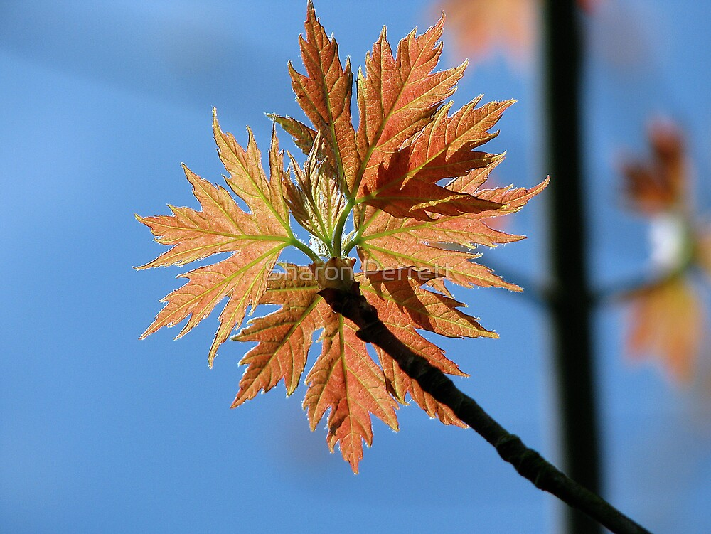 Acer Saccharinum (Silver Maple) N. America by Sharon Perrett