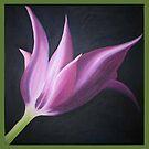 Tulipa by Talisa