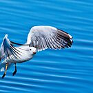 Seagull beauty 9863 by kevin chippindall