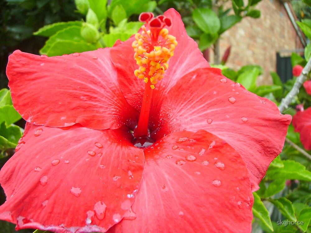 Red Hibiscus - As Is by skyhorse