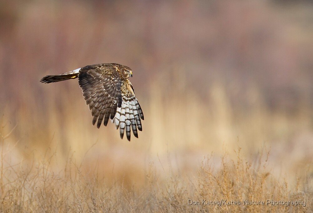 Northern Harrier by Don Kates/Kates  Nature Photography